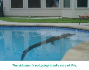 Alligator In Pool